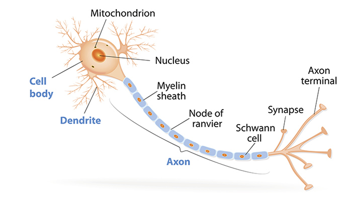 Axons The Cable Transmission Of Neurons Queensland Brain