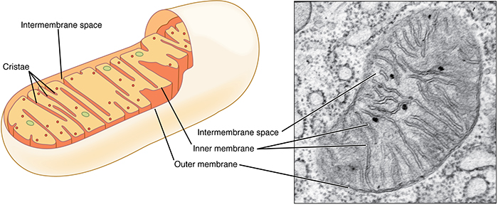 mitochondria what are they and why do we have them queensland