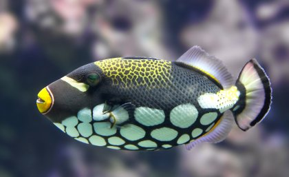 UQ researchers have established that reef fish see colours that humans cannot.