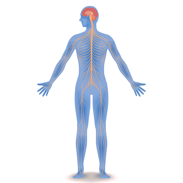 Central Nervous System: brain and spinal cord - Queensland Brain ...