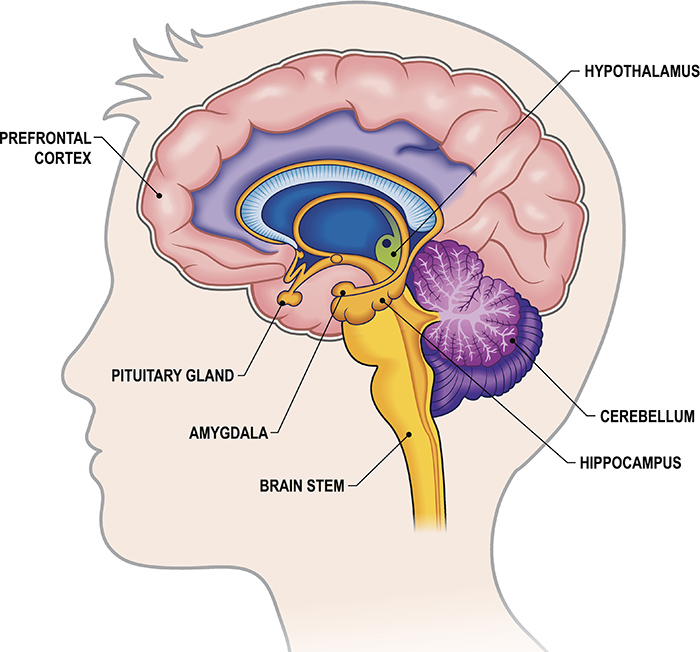 The limbic system - Queensland Brain Institute - University of ...