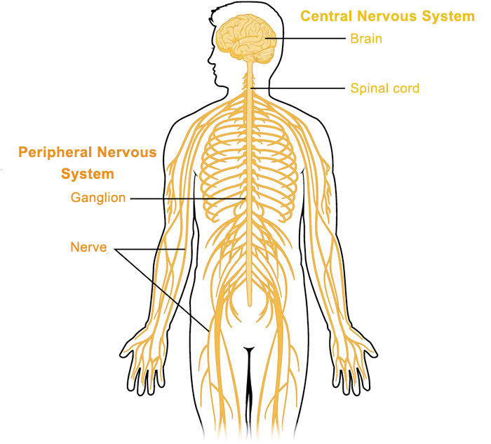 Peripheral Nervous System Queensland Brain Institute University
