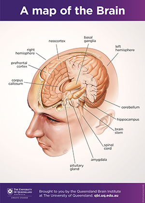 Brain anatomy poster