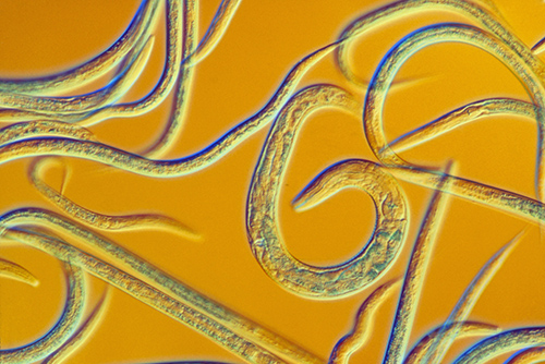 The roundworm, a key player in brain science