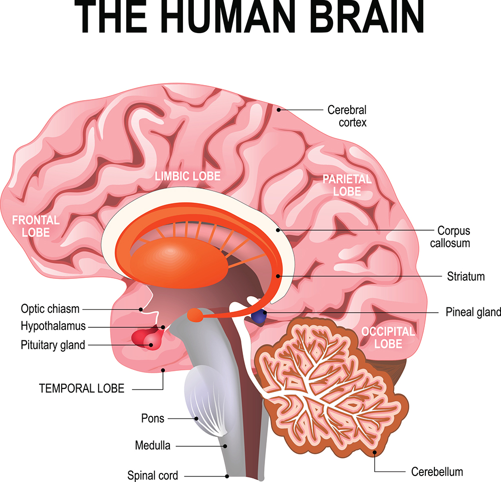 A basic anatomy diagram of the human brain.