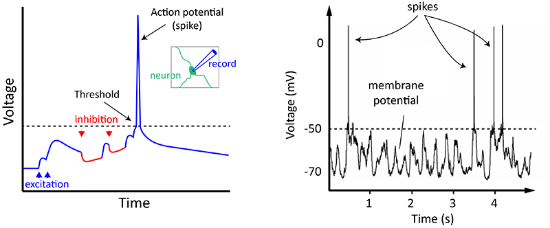 Action potentials and synapses queensland brain institute a neuron spikes when a combination of all the excitation and inhibition it receives makes it reach threshold on the right is an example from an actual ccuart Image collections