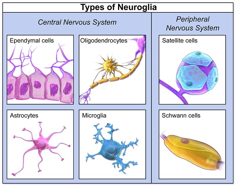 types of glia - queensland brain institute - the university of, Human Body