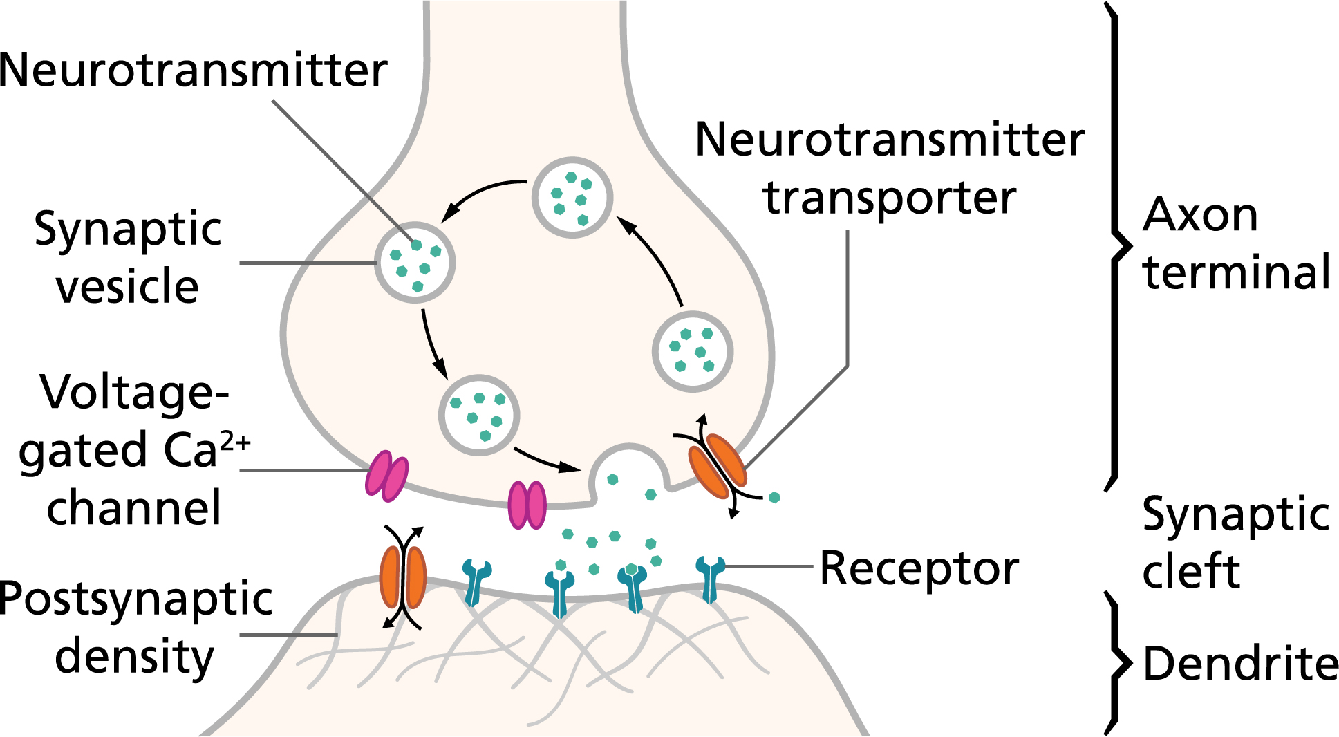 action potentials and synapses queensland brain institute Neuron Diagram Labeled an action potential, or spike, causes neurotransmitters to be released across the synaptic cleft, causing an electrical signal in the postsynaptic neuron