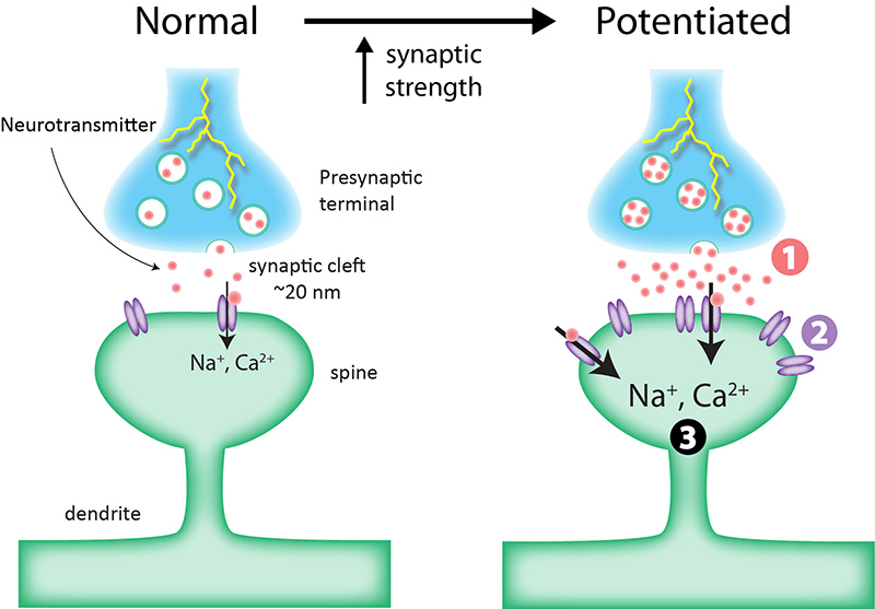 neurotransmitter switching in adult brain Neurotransmitter switching is the gain of one neurotransmitter and the loss of  another in the same neuron in response to chronic stimulation neurotransmitter .