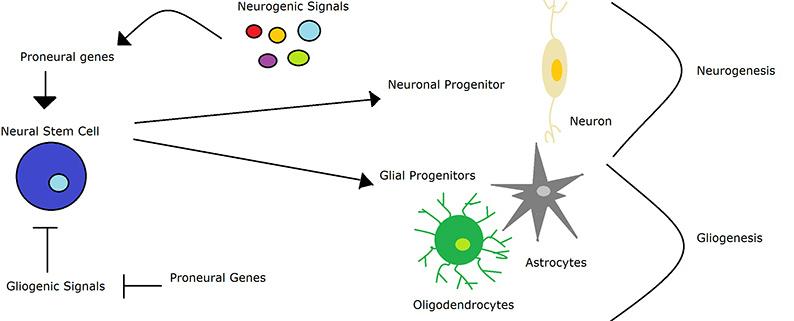 Brain Cell Development Differs In Those >> What Is Neurogenesis Queensland Brain Institute University Of