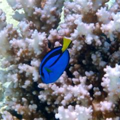 QBI researchers believe Dory, the surgeonfish made famous by Pixar's Finding Nemo and Finding Dory, may hold clues as to how fish adapt to changes in their environment.