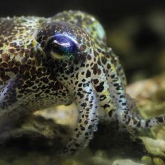 Despite being able to camouflage themselves in colourful surroundings, cuttlefish, squid and octopus are colourblind, QBI research has found.