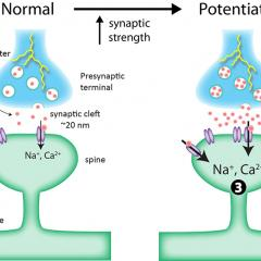 long term synaptic plasticity