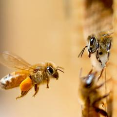 Left or right? Honeybees have a preference for flight direction