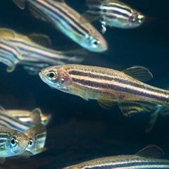 Researchers now understand more about how the zebrafish brain perceives and reacts to predators.