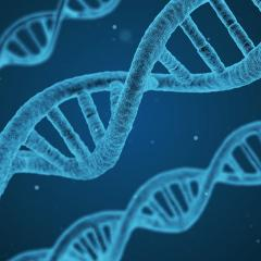 QBI researchers have discovered where the highest rate of genetic mutations occurs in mitochondrial DNA.