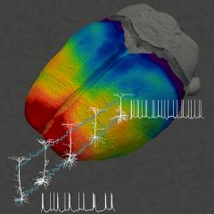 Thickness of brain regions linked to how neurons function