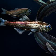 Deep sea fish may have highly sensitive colour vision.