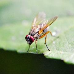 Fruit flies could open new avenues to better understanding attention and sleep.
