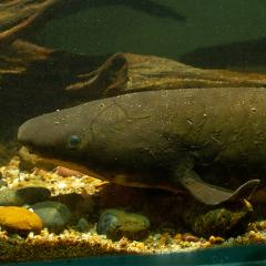 The rare Queensland lungfish, often called a living fossil, is helping researchers challenge our scientific understanding of brain evolution.